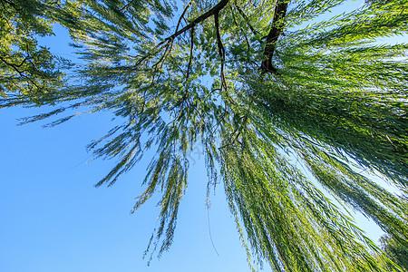 大广角的垂柳高清图片