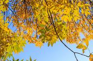 深秋泛黄的树叶图片