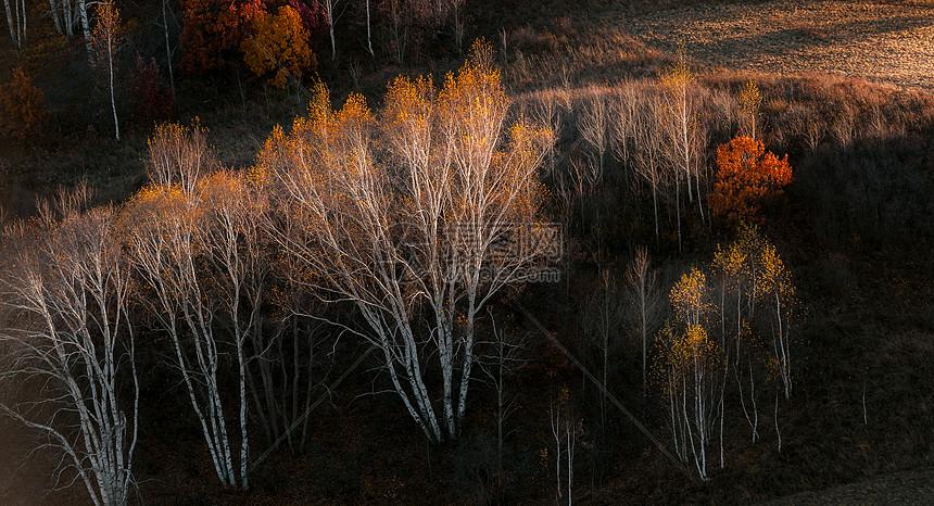 内蒙古坝上夕阳下的白杨树图片
