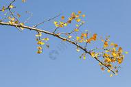 深秋的杏叶500714534图片