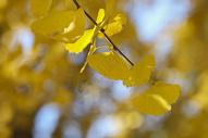深秋的杏叶500714538图片