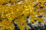 深秋的杏叶500714540图片