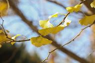 深秋的杏叶500714542图片