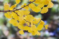 深秋的杏叶500714544图片