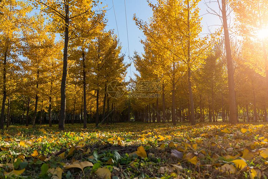 秋天黄色银杏树林图片