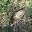 淡水鱼图片