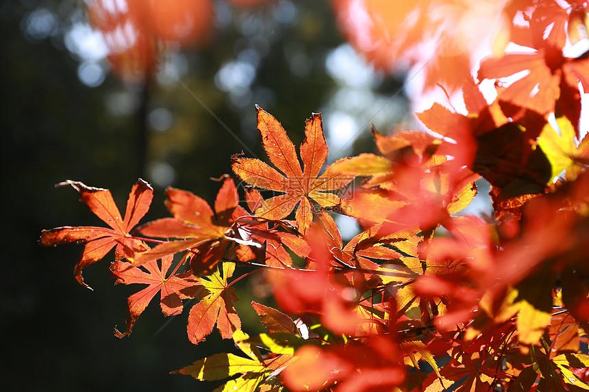 阳光下的枫叶图片