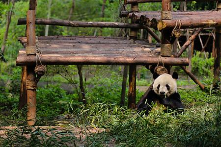 四川大熊猫图片