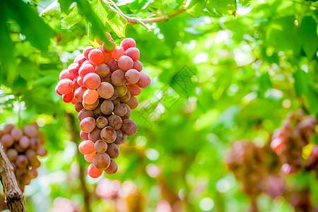 成熟的葡萄图片