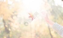 秋日午后暖阳中的枫叶图片