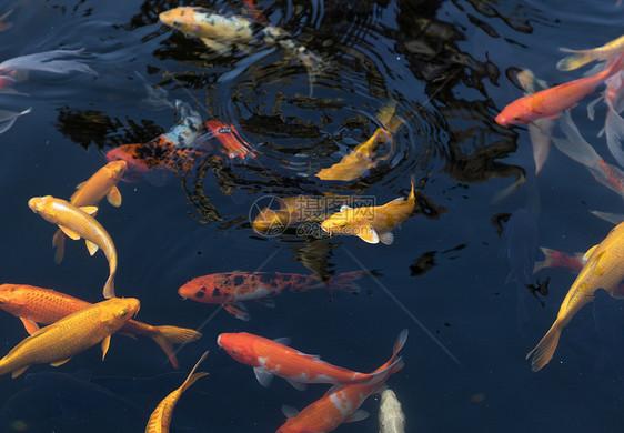 池塘里的锦鲤鱼图片