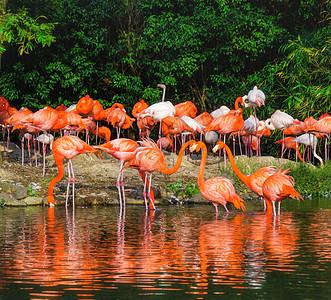 水池边的火烈鸟图片