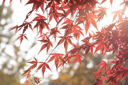 秋天里阳光下的红枫叶图片