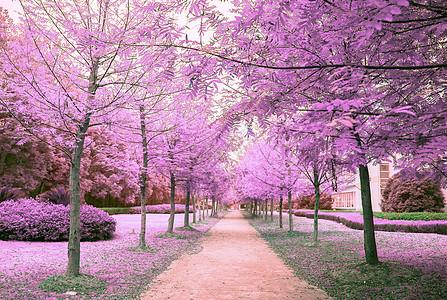 紫色的树林图片