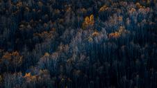 内蒙古坝上草原夕阳下的白桦树图片