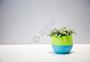 网纹草桌面小型盆栽图片