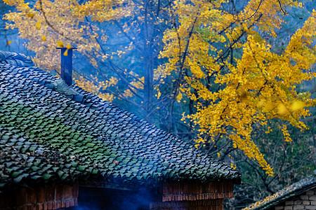 小村庄的银杏小景图片