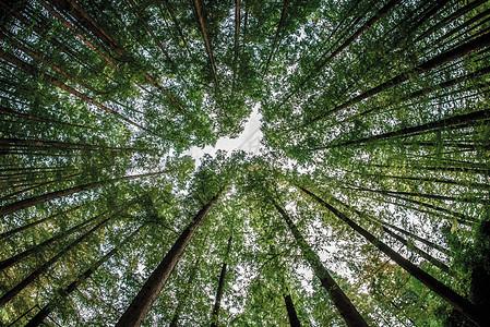 高大的杉树图片