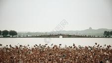 杭州西湖白堤断桥残藕图片