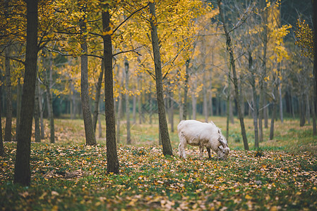 湖州银杏林里的山羊图片