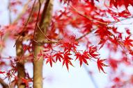 红色的枫叶图片