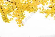 秋日里的银杏叶图片