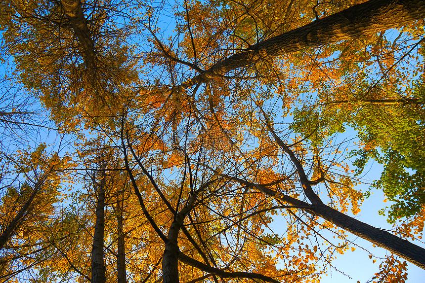 仰望蓝天下的银杏林金色树林图片