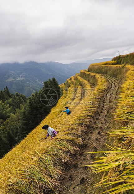 秋收农民收麦子图片