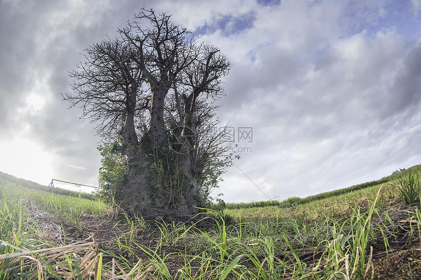 旷野上奇怪的大树图片