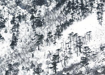 冬天雪松图片