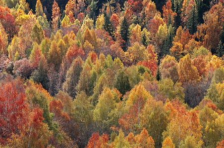 新疆禾木秋色红叶黄叶图片