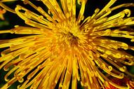 秋天多姿的菊花图片