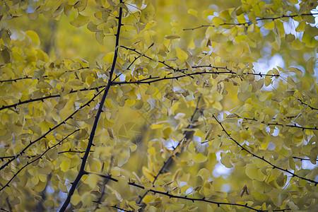 深秋初冬的银杏树图片
