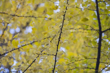 春天银杏树 叶子 简笔画