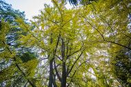 深秋初冬的银杏树500739520图片