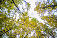 深秋初冬的银杏树500739526图片