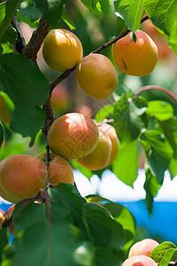 杏树上结满了熟的杏子图片