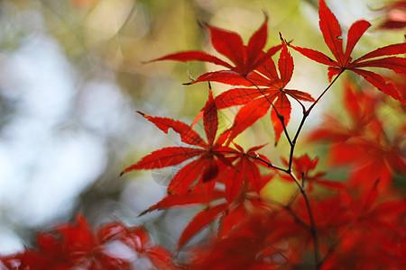 上海红枫树叶图片