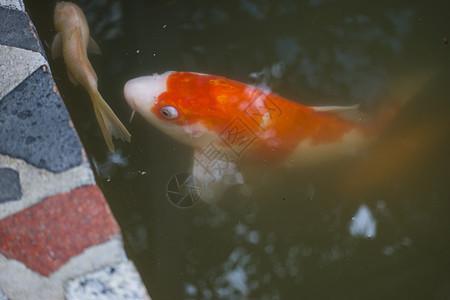 大金鱼图片