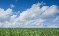 蓝天白云下的甘蔗地图片