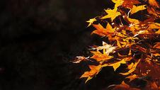 初冬红色枫叶图片