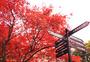 红枫叶树图片