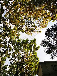 枫叶天空图片