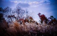 深秋公园里的芦苇图片