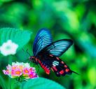 春天百花丛中飞舞的蝴蝶图片