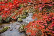 深秋灿烂的红叶与溪水图片