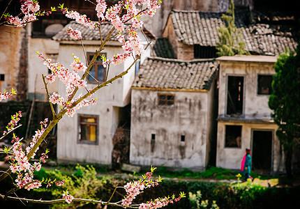 春天盛开的桃花与古民居图片