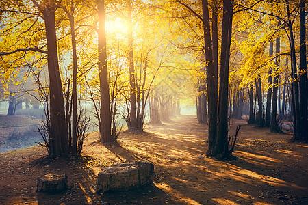 银杏林之晨图片