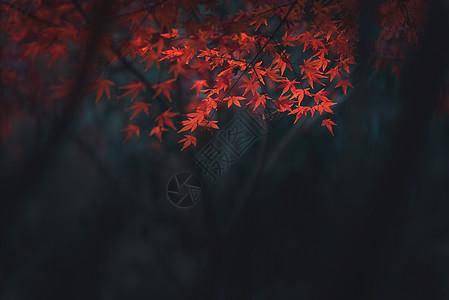 秋天枫叶情图片