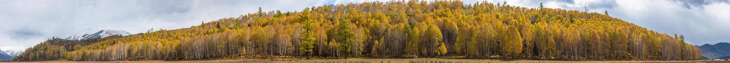 北疆白桦林秋色全景图图片